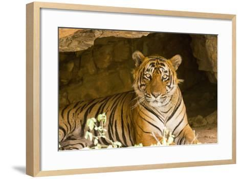 India, Rajasthan, Ranthambore. Royal Bengal Tiger known as Ustad (T24) Resting in a Cool Cave.-Katie Garrod-Framed Art Print