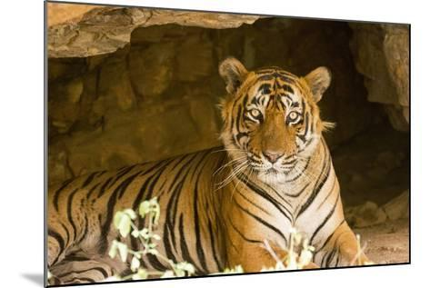 India, Rajasthan, Ranthambore. Royal Bengal Tiger known as Ustad (T24) Resting in a Cool Cave.-Katie Garrod-Mounted Photographic Print