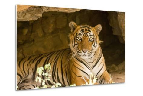India, Rajasthan, Ranthambore. Royal Bengal Tiger known as Ustad (T24) Resting in a Cool Cave.-Katie Garrod-Metal Print