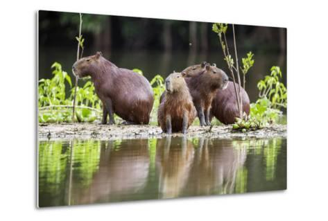 Brazil, Pantanal, Mato Grosso Do Sul. Capybaras on a Sandbank in the Middle of the Pixaim River.-Nigel Pavitt-Metal Print