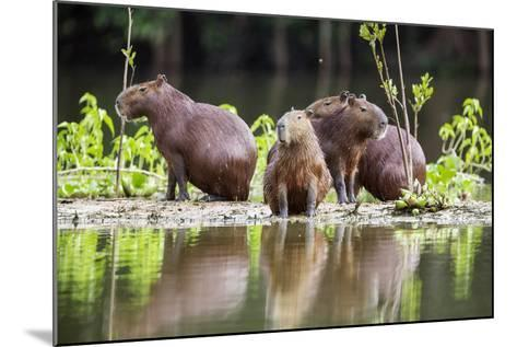 Brazil, Pantanal, Mato Grosso Do Sul. Capybaras on a Sandbank in the Middle of the Pixaim River.-Nigel Pavitt-Mounted Photographic Print