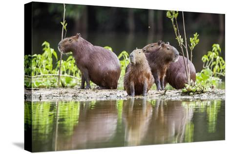 Brazil, Pantanal, Mato Grosso Do Sul. Capybaras on a Sandbank in the Middle of the Pixaim River.-Nigel Pavitt-Stretched Canvas Print