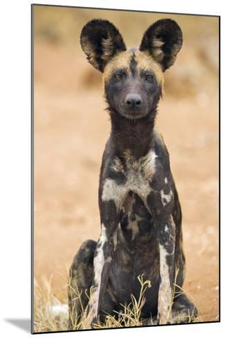 Kenya, Laikipia County, Laikipia. a Juvenile Wild Dog Showing its Blotchy Coat and Rounded Ears.-Nigel Pavitt-Mounted Photographic Print
