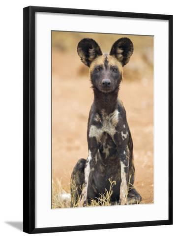 Kenya, Laikipia County, Laikipia. a Juvenile Wild Dog Showing its Blotchy Coat and Rounded Ears.-Nigel Pavitt-Framed Art Print