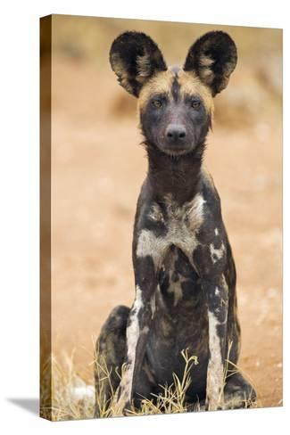 Kenya, Laikipia County, Laikipia. a Juvenile Wild Dog Showing its Blotchy Coat and Rounded Ears.-Nigel Pavitt-Stretched Canvas Print