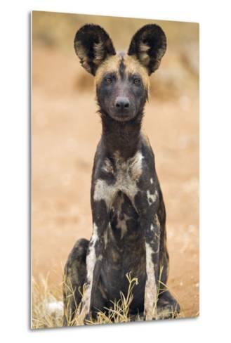 Kenya, Laikipia County, Laikipia. a Juvenile Wild Dog Showing its Blotchy Coat and Rounded Ears.-Nigel Pavitt-Metal Print