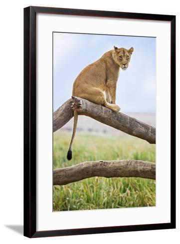 Kenya, Meru County, Lewa Wildlife Conservancy. a Lioness Sitting on the Branch of a Dead Tree.-Nigel Pavitt-Framed Art Print