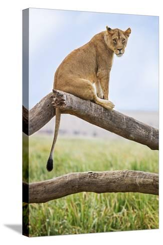 Kenya, Meru County, Lewa Wildlife Conservancy. a Lioness Sitting on the Branch of a Dead Tree.-Nigel Pavitt-Stretched Canvas Print