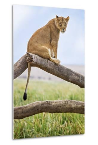 Kenya, Meru County, Lewa Wildlife Conservancy. a Lioness Sitting on the Branch of a Dead Tree.-Nigel Pavitt-Metal Print