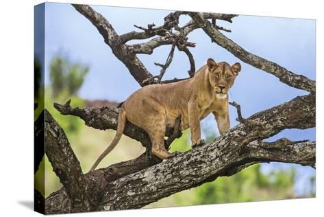 Kenya, Meru County-Nigel Pavitt-Stretched Canvas Print
