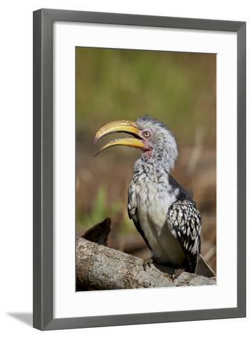 Southern Yellow-Billed Hornbill (Tockus Leucomelas), Kruger National Park, South Africa, Africa-James Hager-Framed Art Print