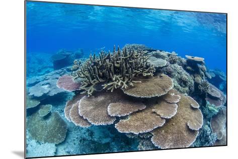Underwater Profusion of Hard Plate Corals at Pulau Setaih Island, Natuna Archipelago, Indonesia-Michael Nolan-Mounted Photographic Print