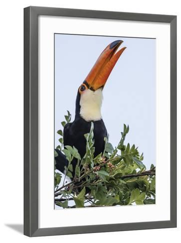 Toco Toucan (Ramphastos Toco), Feeding Within Iguazu Falls National Park, Misiones, Argentina-Michael Nolan-Framed Art Print