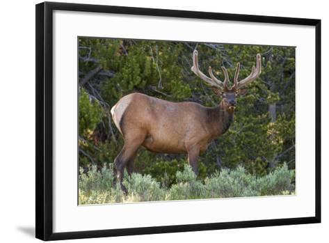 Elk (Cervus Canadensis) Near Lake Village, Yellowstone National Park, Wyoming, U.S.A.-Michael DeFreitas-Framed Art Print