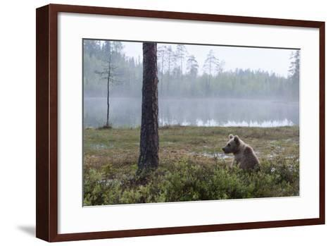 European Brown Bear (Ursus Arctos), Kuhmo, Finland, Scandinavia, Europe-Sergio Pitamitz-Framed Art Print
