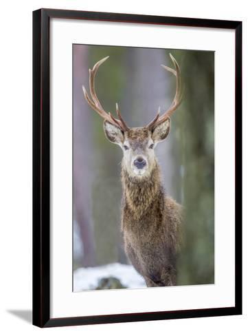 Red Deer Stag (Cervus Elaphus), Scottish Highlands, Scotland, United Kingdom, Europe-David Gibbon-Framed Art Print