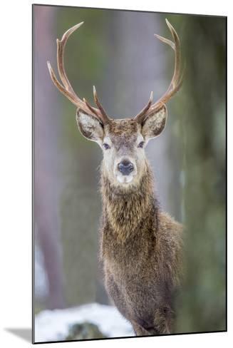 Red Deer Stag (Cervus Elaphus), Scottish Highlands, Scotland, United Kingdom, Europe-David Gibbon-Mounted Photographic Print