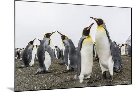 King Penguins (Aptenodytes Patagonicus) on the Beach at Gold Harbour, South Georgia, Polar Regions-Michael Nolan-Mounted Photographic Print