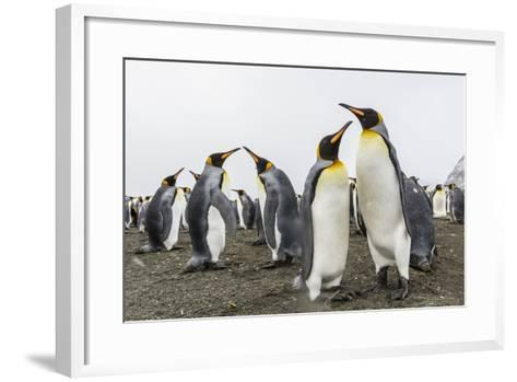 King Penguins (Aptenodytes Patagonicus) on the Beach at Gold Harbour, South Georgia, Polar Regions-Michael Nolan-Framed Art Print