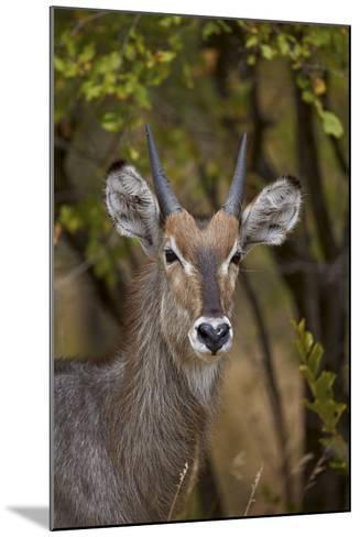 Common Waterbuck (Kobus Ellipsiprymnus Ellipsiprymnus), Kruger National Park, Africa-James Hager-Mounted Photographic Print