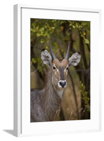 Common Waterbuck (Kobus Ellipsiprymnus Ellipsiprymnus), Kruger National Park, Africa-James Hager-Framed Art Print