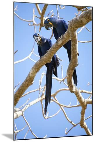 Hyacinth Macaws (Anodorhynchus Hyacinthinus), Mato Grosso Do Sul, Brazil, South America-Alex Robinson-Mounted Photographic Print