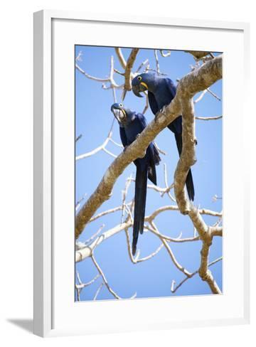 Hyacinth Macaws (Anodorhynchus Hyacinthinus), Mato Grosso Do Sul, Brazil, South America-Alex Robinson-Framed Art Print
