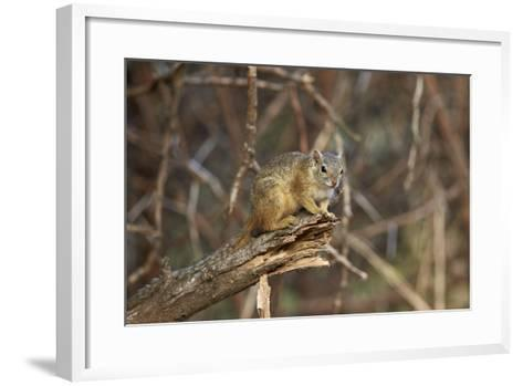 Tree Squirrel (Smith's Bush Squirrel) (Yellow-Footed Squirrel) (Paraxerus Cepapi), Africa-James Hager-Framed Art Print