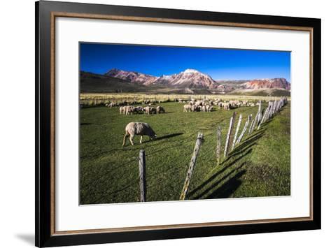 Sheep on the Farm at Estancia La Oriental, Argentina-Matthew Williams-Ellis-Framed Art Print