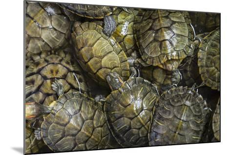 Terrapins at Market, Guilin, Guangxi, China, Asia-Janette Hill-Mounted Photographic Print
