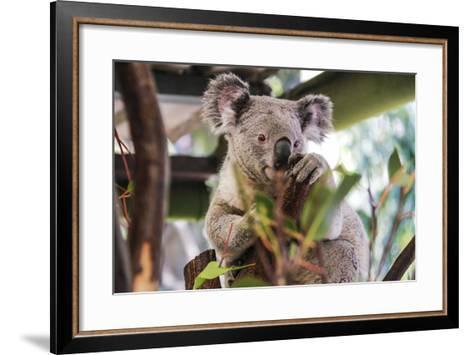 Beautiful and Awake Koala, Queensland, Australia, Pacific-Noelia Ramon-Framed Art Print