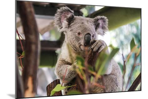 Beautiful and Awake Koala, Queensland, Australia, Pacific-Noelia Ramon-Mounted Photographic Print