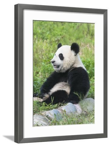 Two Year Old Young Giant Panda (Ailuropoda Melanoleuca), Chengdu, Sichuan, China, Asia-G&M Therin-Weise-Framed Art Print