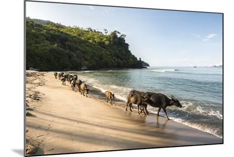 Water Buffalo on the Beach at Sungai Pinang, Near Padang in West Sumatra, Indonesia, Southeast Asia-Matthew Williams-Ellis-Mounted Photographic Print