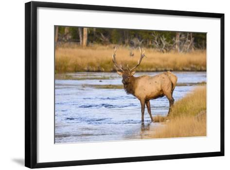 Elk (Cervus Canadensis) Crossing the Madison River, Yellowstone National Park, Wyoming, U.S.A.-Gary Cook-Framed Art Print
