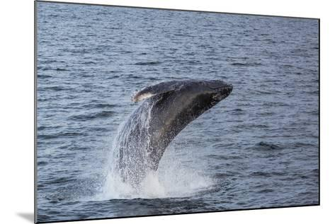 Humpback Whale (Megaptera Novaeangliae) Breaching Off Gwaii Haanas, British Columbia, Canada-Michael Nolan-Mounted Photographic Print