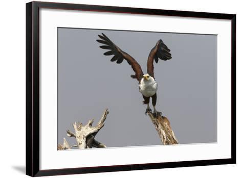 African Fish Eagle (Haliaeetus Vocifer), Chobe National Park, Botswana, Africa-Ann & Steve Toon-Framed Art Print
