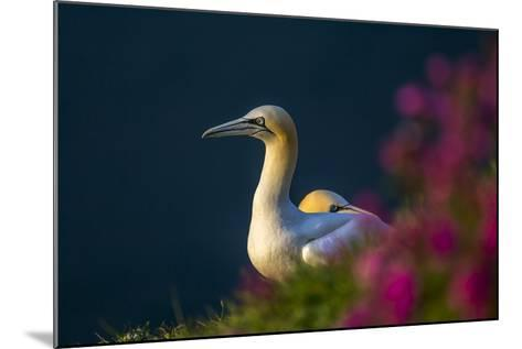 Gannet (Morus Bassanus) at Sunset on Bempton Cliffs, Yorkshire, England, United Kingdom, Europe-Andrew Sproule-Mounted Photographic Print