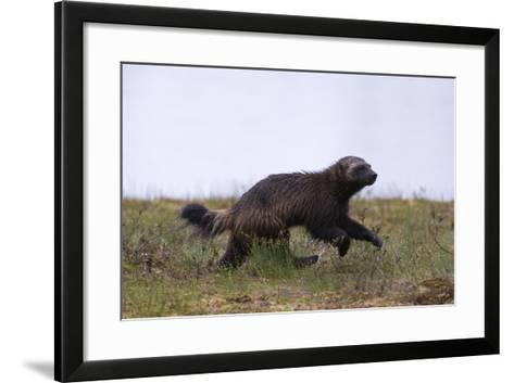 Wolverine (Gulo Gulo), Kuhmo, Finland, Scandinavia, Europe-Sergio Pitamitz-Framed Art Print