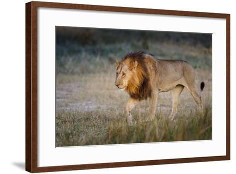 Male Lion (Panthera Leo), Moremi, Okavango Delta, Botswana, Africa-Andrew Sproule-Framed Art Print