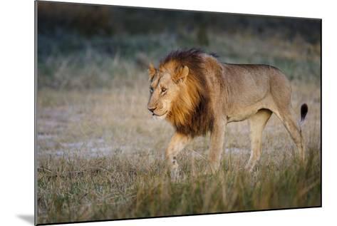 Male Lion (Panthera Leo), Moremi, Okavango Delta, Botswana, Africa-Andrew Sproule-Mounted Photographic Print