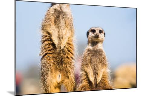 The Meerkat (Suricate) (Suricata Suricatta), United Kingdom, Europe-John Alexander-Mounted Photographic Print