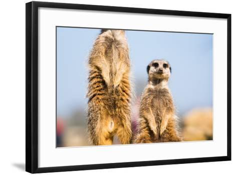 The Meerkat (Suricate) (Suricata Suricatta), United Kingdom, Europe-John Alexander-Framed Art Print
