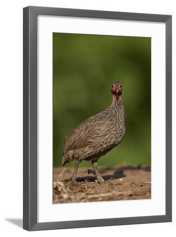Swainson's Francolin (Swainson's Spurfowl) (Pternistes Swainsonii), Kruger National Park, Africa-James Hager-Framed Art Print