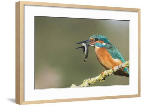Kingfisher (Alcedo Atthis), Yorkshire, England, United Kingdom, Europe-David and Louis Gibbon-Framed Art Print