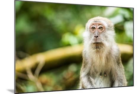 Long Tailed Macaque (Macaca Fascicularis), Indonesia, Southeast Asia-John Alexander-Mounted Photographic Print