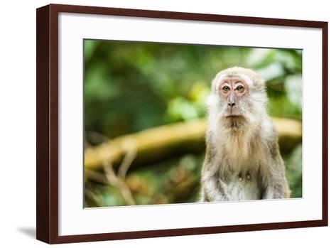 Long Tailed Macaque (Macaca Fascicularis), Indonesia, Southeast Asia-John Alexander-Framed Art Print
