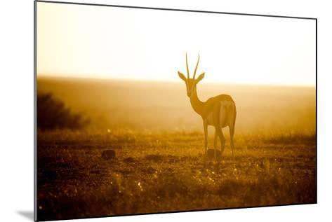 Springbok at Sunset, Kenya, East Africa, Africa-John Alexander-Mounted Photographic Print