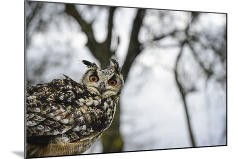 Eagle Owl, Raptor, Bird of Prey, Rhayader, Mid Wales, United Kingdom, Europe-Janette Hill-Mounted Photographic Print