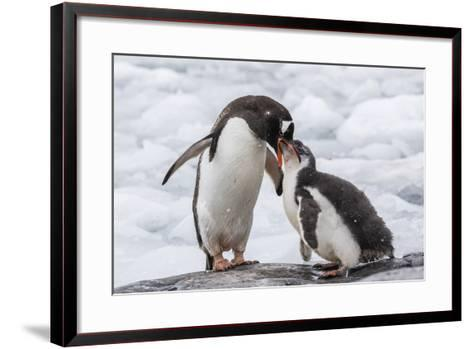 Adult Gentoo Penguin (Pygoscelis Papua) Feeding Chick at Jougla Point, Antarctica, Polar Regions-Michael Nolan-Framed Art Print